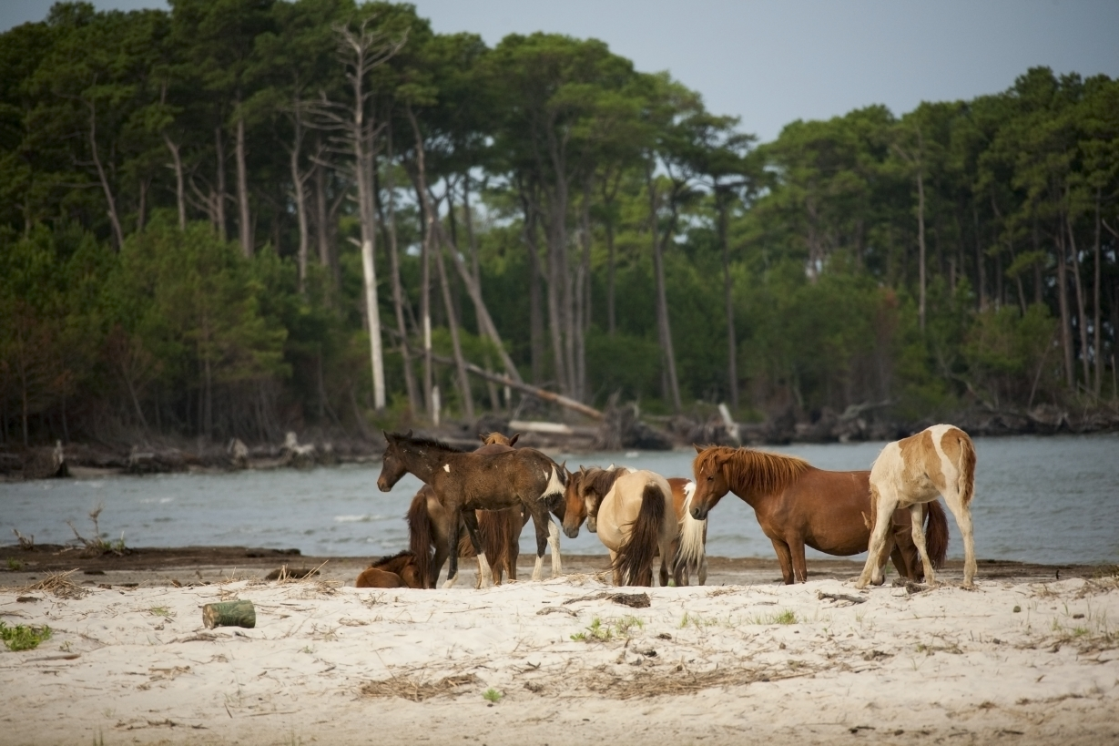 Assateague Island Pony Watching from the Assateague Channel