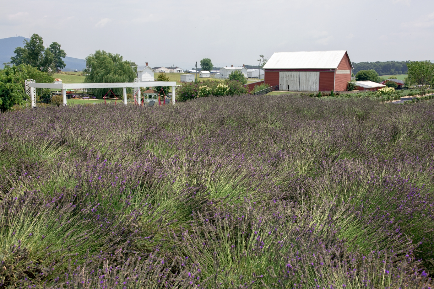 White Oak Lavender Farm